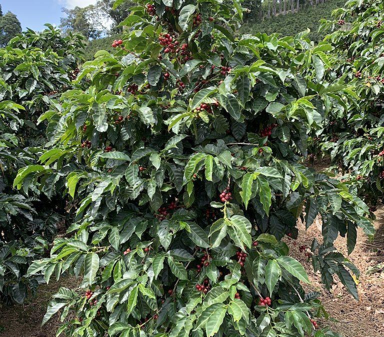 Max's Natural Coffee Farm