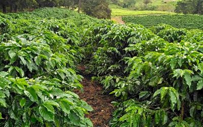 Boyerito's Coffee Farm